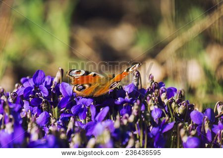 Peacock Butterfly Sits On Blue Spring Flowers (aglais Io)