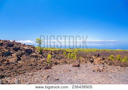 Green Forest On The Volcanic Lava In The Tenerife Teide