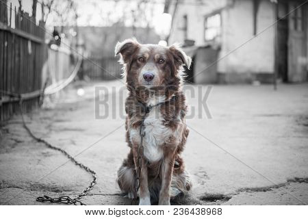 Portrait Of Beautiful Brown Dog Sitting On Chain Outside On Gray Background Of Old Village Yard.