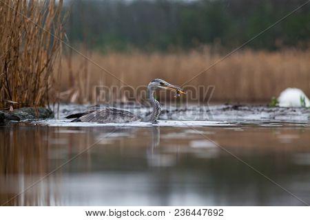 beautiful grey heron fishing on a lake in the early morning