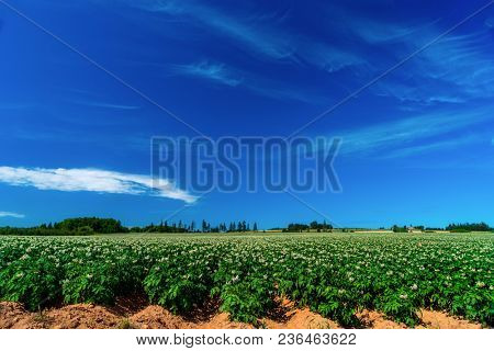 Field of flowering potato plants in rural Prince Edward Island, Canada.