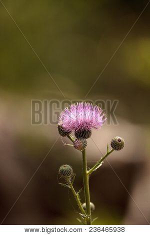 Pink Flower Of A Thistle Plant Carduus Horridulum
