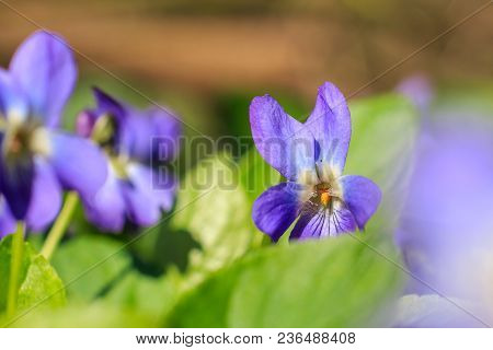 Violet Macro Photo. Forest Flower Violets Close-up. Macro Photo Of A Forest Flower Viola Odorata. A