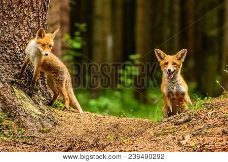 Red Fox In The Woods(vulpes Vulpes) Playing Foxes