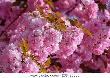 Japanese Cherry Blossom Season, Full Frame Of Sakura Flowers, Pink Spring Background