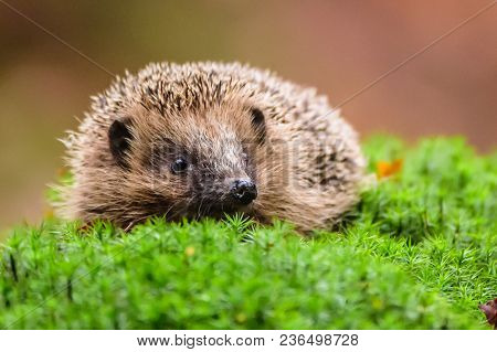 European Hedgehog, Erinaceus Europaeus, On A Green Moss At The Forest, Photo With Wide Angle. Hedgeh
