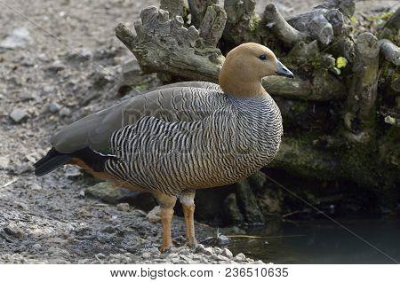 Ruddy-headed Goose - Chloephaga Rubidiceps  From South America