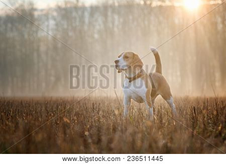 Beagle Beagle Dog On A Walk In The Forest In The Spring Morning In The Thick Fog At Dawndog On A Wal