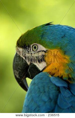 Vogel Papagei ARA