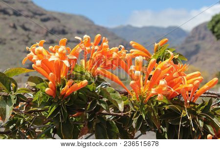Orange Colored Honeysuckle Blossoms In Front Of Mountain Landscape