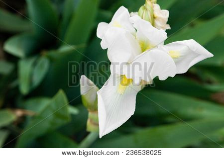 Iris Germanica is The Accepted Name For A Species Of flowering Plants in The Family iridaceae Common