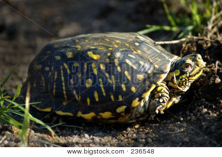 Reptilien-Dosenschildkröte