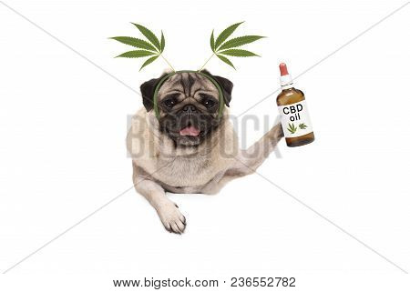 Cute Smiling Pug Puppy Dog Holding Up Bottle Of Cbd Oil Wearing  Marijuana Hemp Leaf Diadem, Isolate