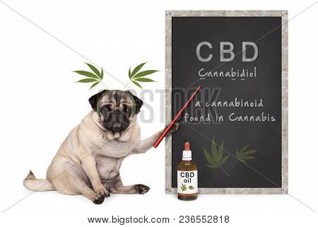 Pug Puppy Dog With Hemp Leaves Diadem Pointing At Blackboard With Text Cbd And Dropper Bottle With O