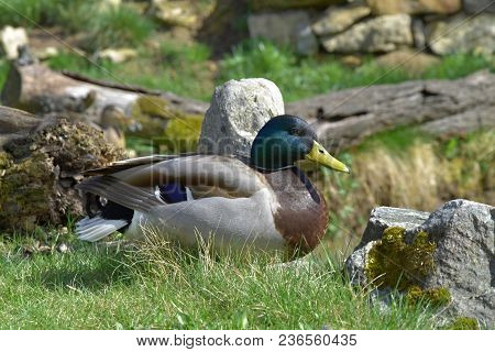 Anas Platyrhynchos, Wild Duck, Nice-colored Male. Duck.