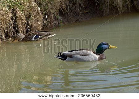 Anas Platyrhynchos, Wild Ducks Floating On The Pond