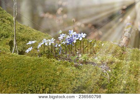 Anemone Hepatica. Hepatica Nobilis Blooms In The Forest For Moss. Backlight Sunlight.