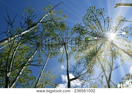 Dill. Anethum Graveolens, View From Below To The Sky. Backlight Sunlight