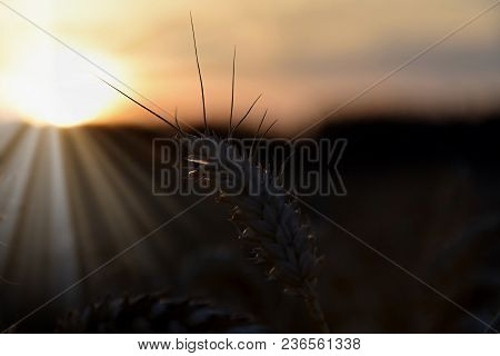 Sunset Over Wheat Field, Focus On One Cob. Backlight Sunlight