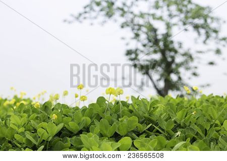 Yellow Little Flower On Green Grass Background, Stock Photo