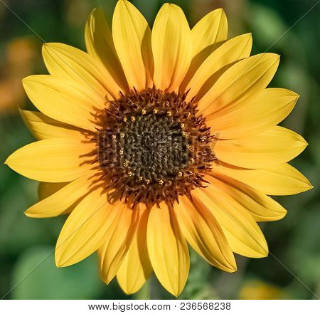 An Up-close View Of A Small Golden Yellow Sunflower Blooming