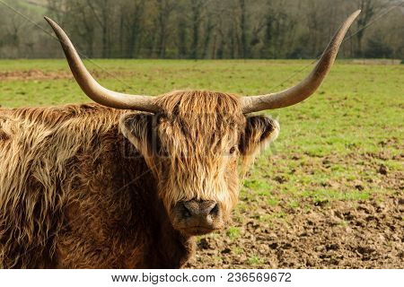 Highland Cattle A Scottish Breed Known For Their Shaggy Coats And Long Horns A Hardy Breed Suited To