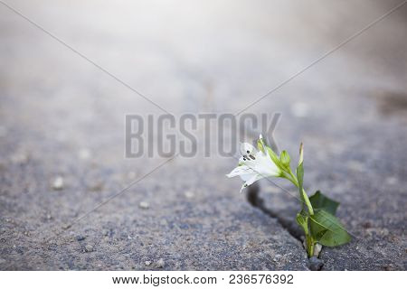 Beautiful White Flower Growing On Crack Street