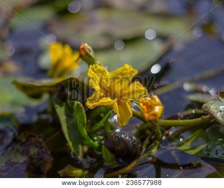 Fringed Water-lily Nymphoides Peltata . Fringed Water Lily, Yellow Floating Heart, Water Fringe