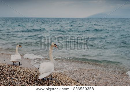 Grace And Pure Love Concept. Two White Couple Of Swans Stand On Coastline Near Blue Calm Sea, Spend