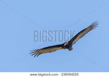 Turkey Vulture Large Bird In Flight With Sky