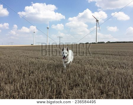 White Female Wolf Running Towards The Camera On A Harvested Corn Field And A Windmills In The Backgr