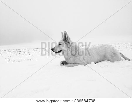 White Wolf Hiding Out In Snow Preparing For Attack And Hunting