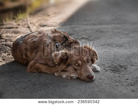 Portrait Of Cute Sad Chained Brown Or Red Dog Lying Or Resting On Old Village Yard