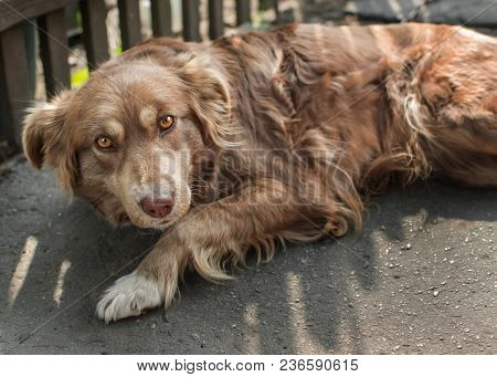 Portrait Of Cute Chained Brown Or Red Dog Lying Or Resting On Old Village Yard Under Wooden Fence In