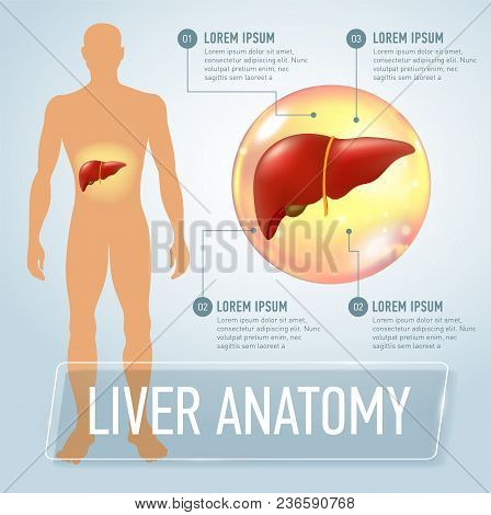 Liver. Modern Medical Infographics. Internal Organs In A Human Body. Anatomy Of People. Realistic Ve