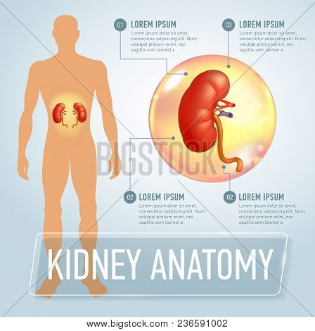 Kidneys. Modern Medical Infographics. Internal Organs In A Human Body. Anatomy Of People. Realistic