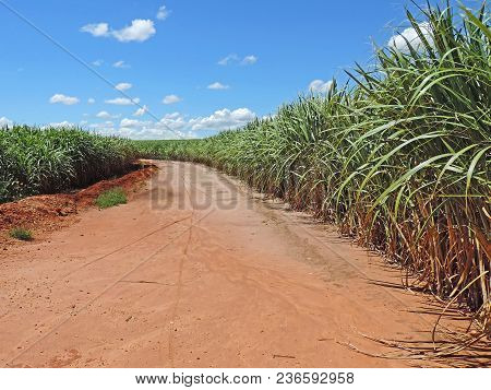 A Dirt Road Crossing Large Sugarcane Plantations