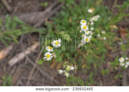 Lone Plant With Multiple Flowers With Yellow Center And Sprawling Stems