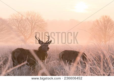 Grazing Red Deer (cervus Elaphus) Are Alert In A Frost Covered, Misty Meadow At Dawn. The Sunrise Fr