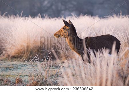 A Female Red Deer In Warm Morning Sunlight Chewing Grass And Looking Into The Distance Over Frost Co