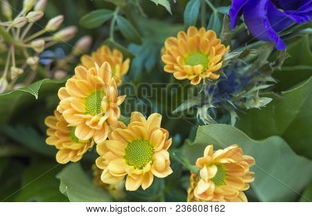 Close Up Yelow Chrysanthemum, Mums Or Chrysanths Flower Arrangement, Floral Background, Selective Fo