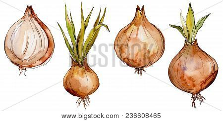 Onion Wild Vegetables In A Watercolor Style Isolated. Full Name Of The Vegetables: Onion. Aquarelle