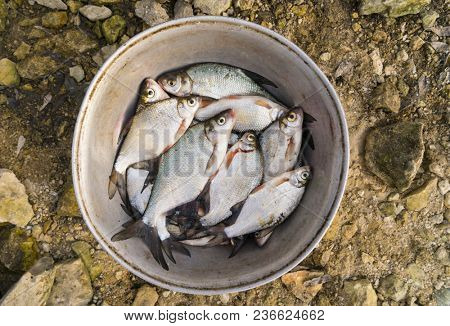 Catch of breams in old aluminium bowl shot from above