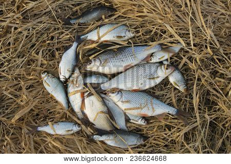 A lot of small fish in old dry grass