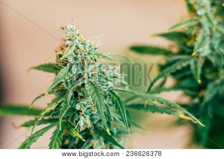 weed with sugar trichomes. concepts of grow and use of marijuana trichomes cbd thc medicinal. cannabis buds Macro shot. Concepts of legalizing herbs grow indoor. Copy space poster