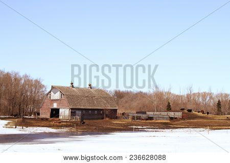 A Barnyard In The Spring With Cattle On A Hill.