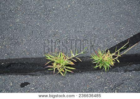 Weed Grass On Damaged Asphalt Road Crack