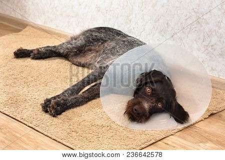 Sad Dog With Plastic Elizabethan (buster) Collar On The Rug