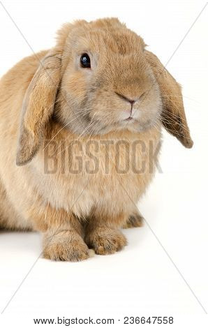 Purebred  Rabbit. Isolated On White Background, Cute Rabbit