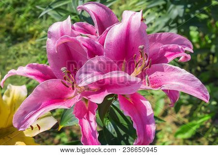 Beautiful Flowering Pink Lilies In A Summer Garden.
